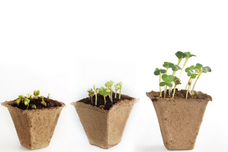 peat: Stages of development of radish sprouts, three peat pots with soil and plants.