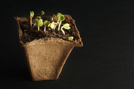 turba: Plantas de primavera de rábano para su pequeño jardín. Fondo oscuro Olla de turba para plántulas con suelo y plantas