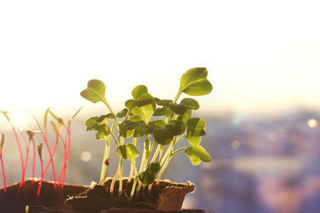 peaty: Young seedlings of radishes and beets in peat pots on the window, morning rays of the sun, copyspace.