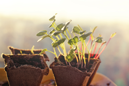 peaty: Seedlings of radishes and beets in peat pots at dawn in the spring.