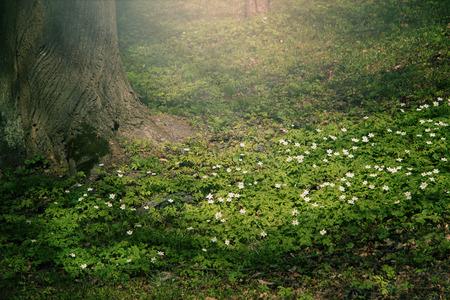 アネモネ ヨーロッパアカマツ - クリアの最初の春の花付近の太陽光線に照らされた木 写真素材