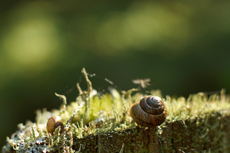 Two snails sleep in the forest on moss in the summer in the early morning. Stock Photo