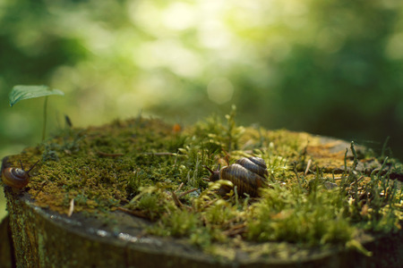 slithery: Two snails crawl along a large stump, covered with moss in the forest in the early morning, in the summer.