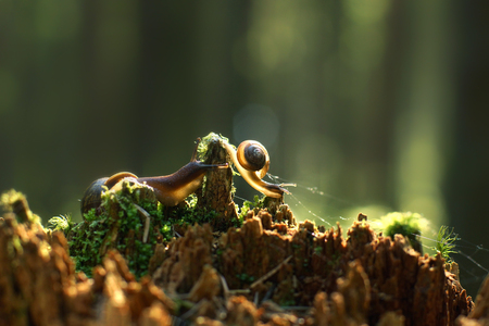 Two snails creep along the broken red stump with the morning forest, are illuminated by the sun. Stock Photo