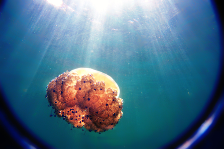 The jellyfish floats in the sea, the suns rays penetrate through the blue water, a look through the lens. 写真素材