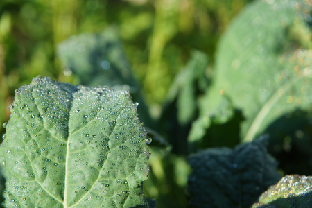 Leaves of cabbage feces with sparkling droplets of morning dew macro. Stock Photo