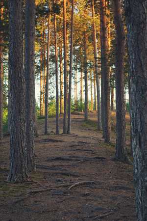 Evening walk through the pine forest along the path. Stock Photo