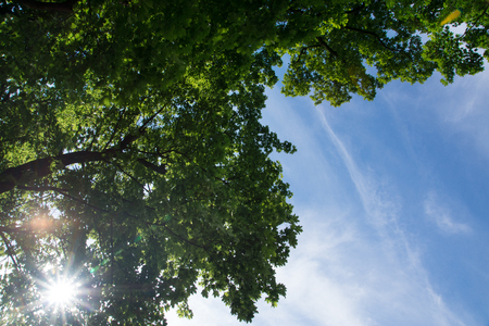 A view from below on a green tree and sky, the rays of the sun penetrate the crown of a maple.