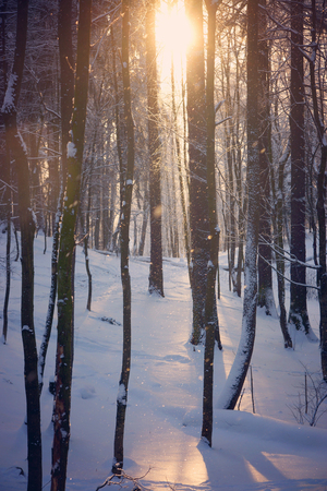 The sunny rays penetrate through the bare branches of trees in the frosty morning, the small snowflakes falls and shines. Stock Photo