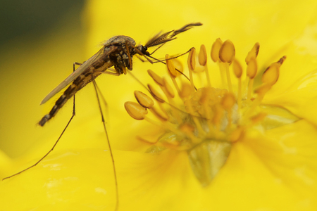 Macro photograph of a mosquito in the middle of a flower with yellow stamens.