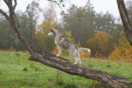 Husky breed dog standing on a tree trunk and looking forward.