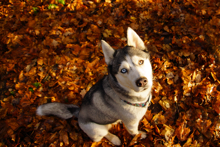 Husky dog breed with different eyes sitting on the bright fallen leaves and looking up.