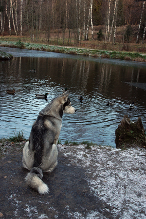 A gray husky breed dog sits on the shore of a lake and looks at ducks