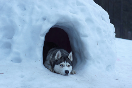 Husky dog breed peeps out of a snow cave, lies and guards the entrance.