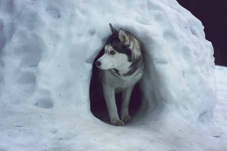 A husky breed dog emerges from a snow cave called the igloo of the Eskimos
