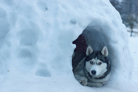 The dog breed Husky lies at the entrance to the snowy house, called igloo among the Eskimos, it is heavy snow. Stock Photo