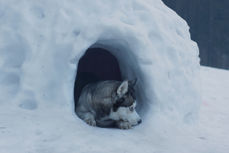 The husky breed dog lies at the entrance to the snow cave, called the igloo of the Eskimos
