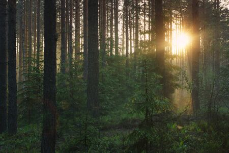 Dawn in the forest, the suns rays penetrate through the pines and Christmas trees