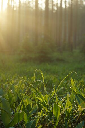 The morning rays of the sun illuminate the glade of lilies of the valley with dew in the forest.