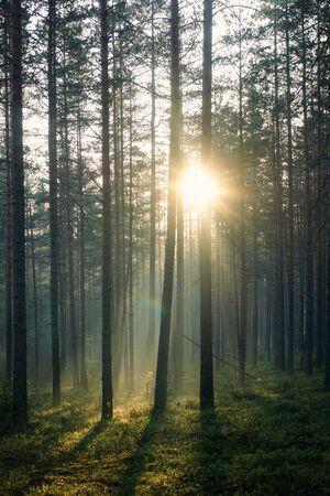 The rays of the morning sun pass through the pine forest in the early morning.