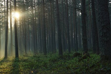 Dark pine forest illuminated by bright sunshine rays.