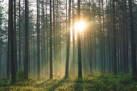 Promienie porannego ciepłego słońca przechodzą przez sosnowy las wczesnym letnim rankiem.