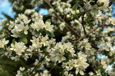 Blossoming branches of apple tree with many delicate flowers on a background of green garden in spring.