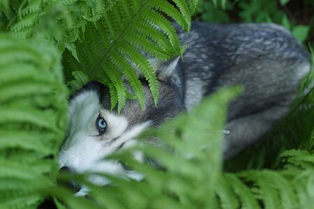A blue-eyed husky breed dog hid in the fern bushes in summer.
