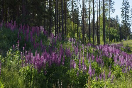 A whole clearing of purple lupins grows near the forest.