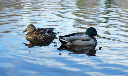 Duck and drake in the lake, turned away from each other. Imagens