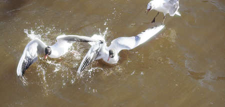 Seagulls fly over water with sun glare, fighting for food.