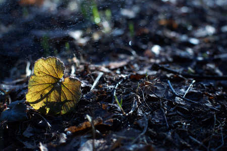 A small leaf grows in spring from under withered foliage, drizzling morning rain. Imagens