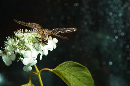 On a dark background with blue sparkles sits a large dragonfly hydrangea flower Imagens