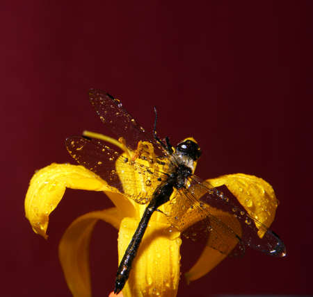 Closeup of a dragonfly and a flower on a dark red background Imagens