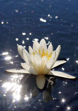 White water lily with a yellow core in a lake with bright highlights on the water Imagens