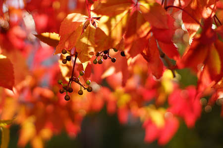 Beautiful five-pointed leaves are red colored this fall. Imagens