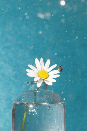 Chamomile flower in a vase and a little snail looking at raindrops on a blue background Imagens