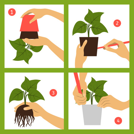 transplant: Guide transplant houseplant. Infographics Illustration