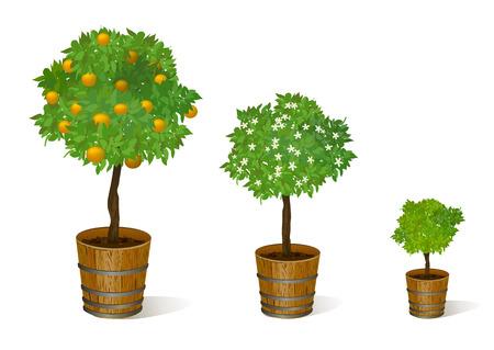 tangerine tree: mandarin tree in a pot. vector illustration Illustration