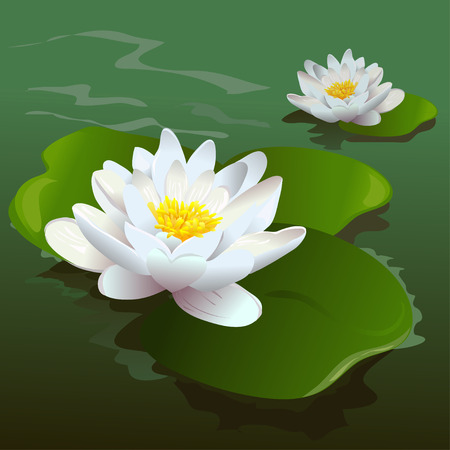 lily leaf: lotus flower in the pond.