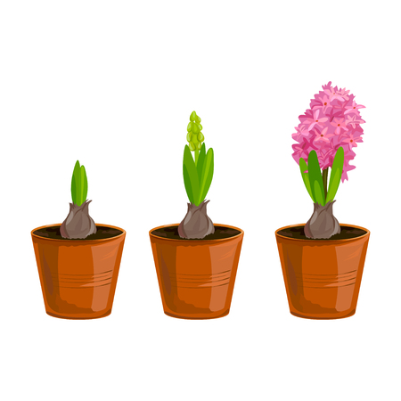 A hyacinth growing stages in pots, vector illustration.