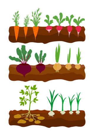 vegetables growing in the ground. vector illustration