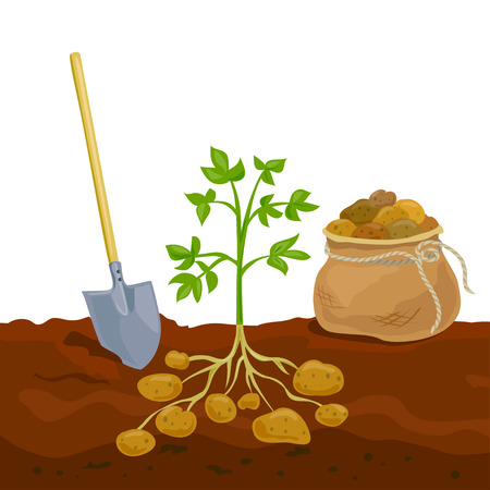 harvest potato picking in bag. vector illustration Illustration