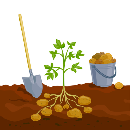 harvesting potatoes, picking up a bucket. vector illustration Çizim