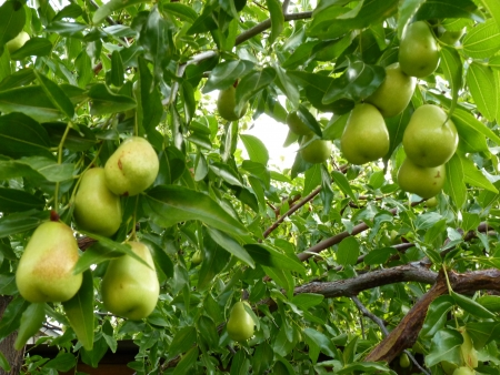 jujube: Jujube fruits on the tree  Stock Photo