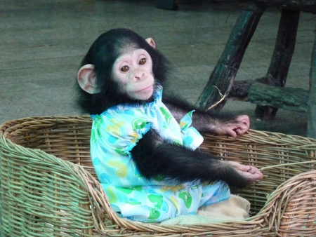 Baby chimpanzee in a colorful dress photo