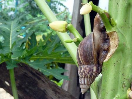 weerzinwekkend: Slak kruipen op een papaja boom