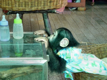striving: A baby chimpanzee striving for the bottle of milk
