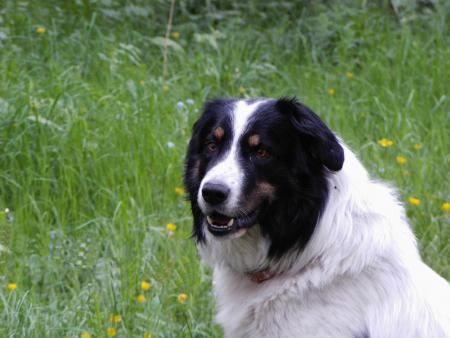 shepard: Karakachanka Bulgarian shepard s dog, special breed