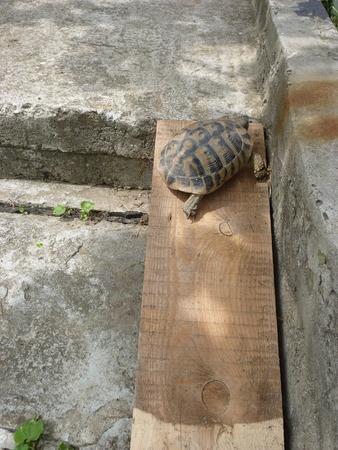 joist: A turtle climbing a joist Stock Photo